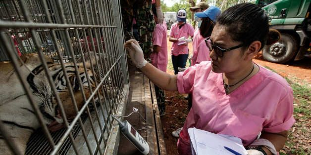KANCHANABURI, THAILAND - JUNE 01: A Thai DNP veterinarian officer checks a tiger's temperature at the Wat Pha Luang Ta Bua Tiger Temple on June 1, 2016 in Kanchanaburi province, Thailand. Wildlife authorities in Thailand raided a Buddhist temple in Kanchanaburi province where 137 tigers were kept, following accusations the monks were illegally breeding and trafficking endangered animals. Forty of the 137 tigers were rescued by Tuesday from the country's infamous 'Tiger Temple' despite opposition from the temple authorities.
