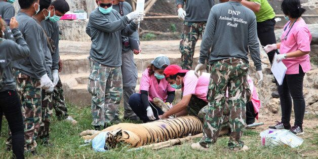 In this Monday, May 30, 2016, photo, wildlife officials sedate a tiger at