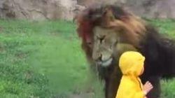 Λιοντάρι επιτίθεται σε μικρό