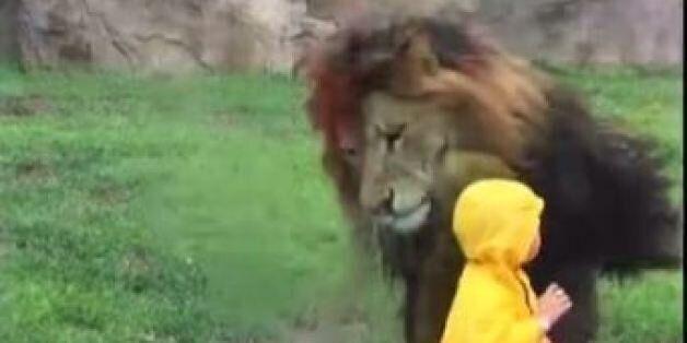 Λιοντάρι επιτίθεται σε μικρό αγοράκι που έκανε το λάθος να γυρίσει την πλάτη