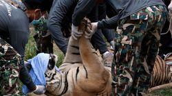 Δεκάδες τίγρεις απομακρύνονται από βουδιστικό ναό στη Ταϊλάνδη. Καταγγελίες για κακοποίηση και παράνομη