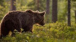 Ursus Arctus: Η καφέ αρκούδα της