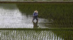 Ο κόσμος ξεμένει από ρύζι; Πως το Ελ Νίνιο επηρεάζει την παραγωγή (και τις τιμές) του ρυζιού