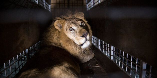 JOHANNESBURG, SOUTH AFRICA - APRIL 30: A crate carrying one of the 33 Lions rescued from circuses in...