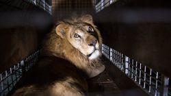 Έφθασαν στη Νότια Αφρική τα 33 λιοντάρια που διασώθηκαν από τσίρκα στη νότια