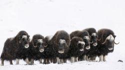 Μοσχόβοες στην Αρκτική: Μοναδικές εικόνες πλασμάτων της προϊστορικής εποχής που επιβιώνουν μέχρι