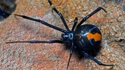 Δηλητηριώδης αράχνη δάγκωσε άνδρα στο