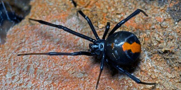 Redback spider (Latrodectus hasselti), female with legs spread out over web; males are small and rarely...
