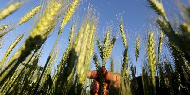 A farmer tends to a wheat field in the El-Dakahlia governorate, north of Cairo, Egypt, in this February...