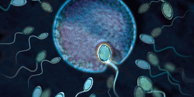 Sperm fertilizing