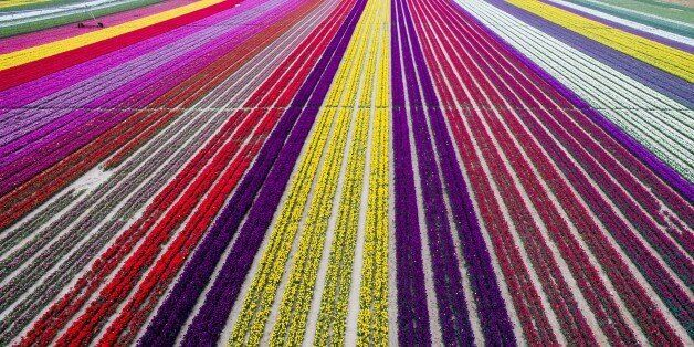 KONYA, TURKEY - APRIL 13:  Colorful tulip fields, sized 300 decare, which have been opened to public for two days in Karatay, Konya on April 13, 2016. (Photo by Murat Oner Tas/Anadolu Agency/Getty Images)