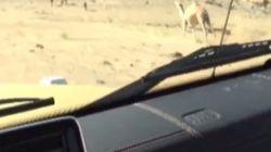 Οργή για τον ζάμπλουτο Σαουδάραβα Turki Bin Abdullah που κυνηγάει καμήλα με το χρυσό του