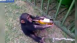 Δίνουν σε νεογέννητο πιθηκάκι να πιει μπίρα μόνο και μόνο για να σπάσουν