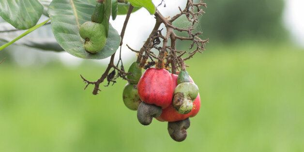 Cashew growing on a