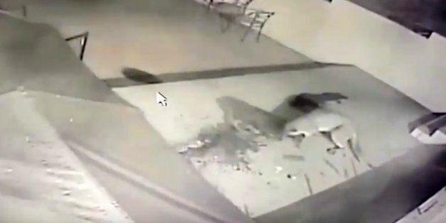 Συγκλονιστική μάχη: Κούγκαρ παλεύει με ντόπερμαν στην αυλή ενός