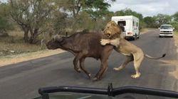 Ο νόμος του ισχυρού: Λιοντάρια κατασπαράσσουν βουβάλι μπροστά στα έκπληκτα μάτια