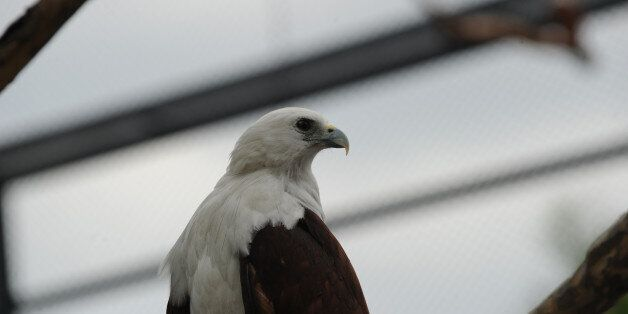 A Brahminy kite (Haliastur indus) locally know as Lawin, rests inside an enclosure of Ocean park along...