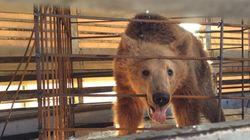 Τρία αρκουδάκια σώθηκαν από παράνομη αιχμαλωσία στην Αλβανία και μεταφέρθηκαν στο Καταφύγιο του