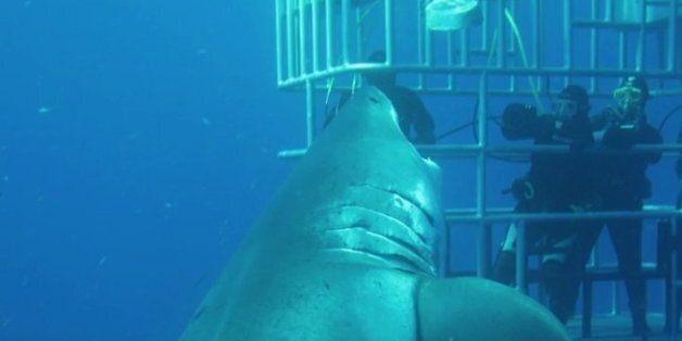 Καρχαρίας «τέρας» εμφανίζεται από το πουθενά και επιτίθεται στους πανικόβλητους