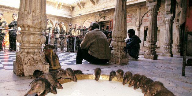 INDIA - JANUARY 01: Karni Mata temple In India In January, 1996. (Photo by Robert NICKELSBERG/Gamma-Rapho...