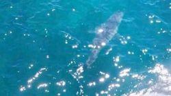 Είναι αυτός ο μεγαλύτερος λευκός καρχαρίας του κόσμου; Έχει μήκος επτά μέτρα και εθεάθη κοντά σε ακτή της