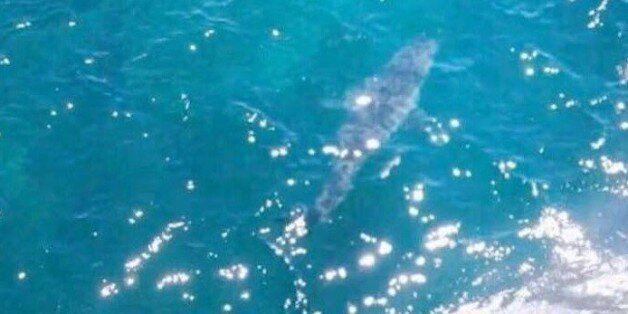 Υποστηρίζουν ότι είναι ο μεγαλύτερος λευκός καρχαρίας του κόσμου. Ξεπερνά τα επτά μέτρα σε