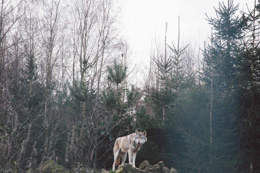 Μια φωτογράφος έκλεισε «ραντεβού» με μια αγέλη λύκων και το αποτέλεσμα κόβει την