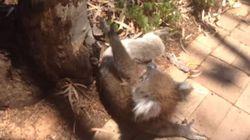 Ένα μικρό κοάλα πλαντάζει στο κλάμα επειδή το κατέβασαν από το δέντρο