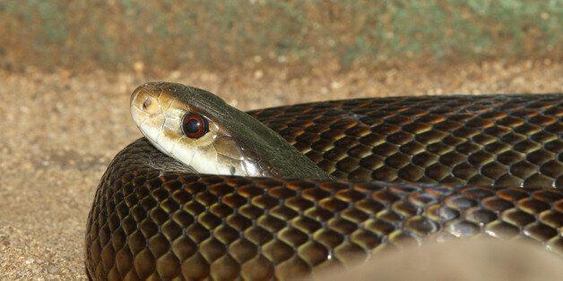 Venomous Taipan snake, Oxyuranus