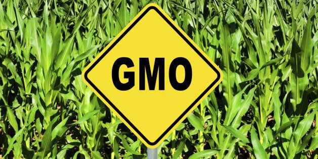 GMO yellow sign with the corn crop in the