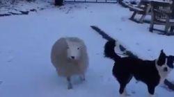 Ένα πρόβατο που νομίζει ότι είναι