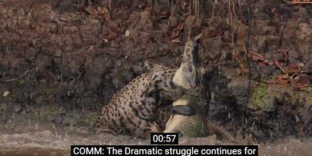 Νόμος της ζούγκλας: Τζάγκουαρ πηδά στο νερό και αρπάζει έναν κροκόδειλο. Ένας θα βγει