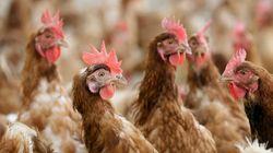 Αντιδράσεις για τις βάρβαρες μεθόδους εκκόλαψης σούπερ κοτόπουλων και η πολεμική του ηθοποιού Alec