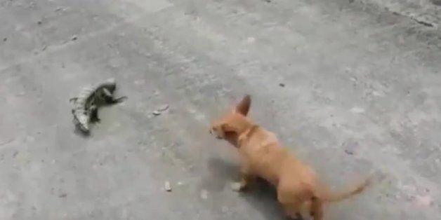 Μία μονομαχία που θα σας μείνει αξέχαστη!Σκύλος εναντίον σαύρας. Ποιος θα βγει