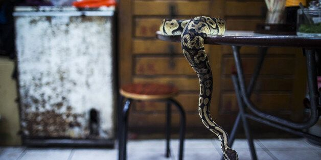 The pet python of Chow Ka-ling, owner of the Shia Wong Hip snake restaurant, sits on a table at the Shia...