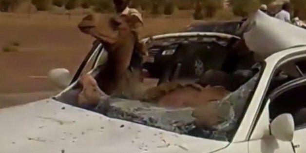 Σκληρές εικόνες: Τράκαρε ενώ οδηγούσε με καμήλα και αυτή βρέθηκε στη θέση του