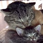 'Battle-Scarred' Feral Cat Spends His Final Days Snuggling Tiny Kittens He