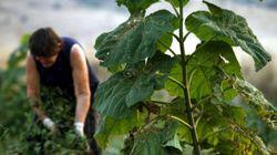 Λούπινο: Το πανάρχαιο φυτό που η καλλιέργεια του μπορεί να αποφέρει 400 ευρώ/στρέμμα καθαρό