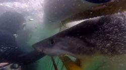 «Αποφασισμένος» λευκός καρχαρίας τορπιλίζει με απίστευτη ταχύτητα κλουβί κατάδυσης και μας παγώνει το