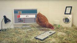 Λέγεται Μπέτυ: Το κοτόπουλο που τουιτάρει και έχει πάνω από 33.000
