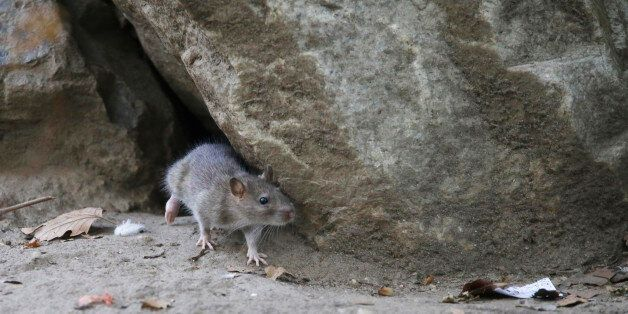 In this Thursday, Sept. 17, 2015, photo, a rat leaves its burrow at a park in the Chinatown neighborhood...