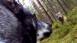 GoPro κάμερα καταγράφει τη μάχη ενός σκύλου με δύο