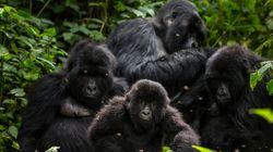 Φωτογραφίζοντας τον ευγενέστερο γίγαντα του κόσμου: Στην ζούγκλα του Κονγκό μαζί με τους Ορεινούς