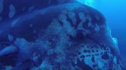 Να κολυμπάς και να δεις αυτό: Ένας ήμερος αλλά «ψαρωτικός» γίγαντας του