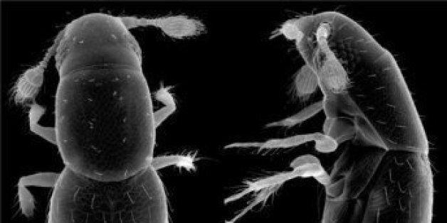 Ρώσος επιστήμονας ανακάλυψε το μικρότερο έντομο στον