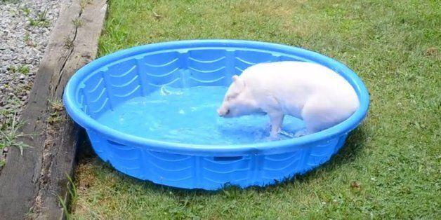 Το πιο χαζoχαρούμενο γουρούνι του ίντερνετ βουτάει στο νερό και