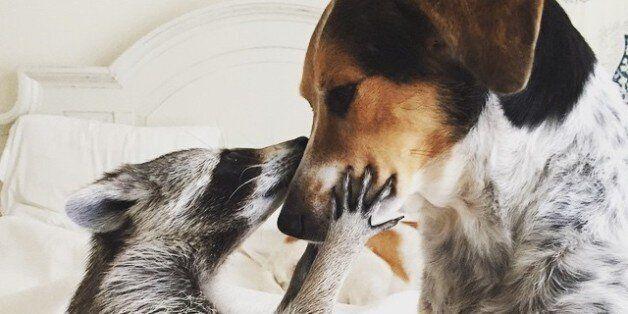 Το ορφανό ρακούν που έγινε σκύλος, 31 τατουάζ που θα σας μαγέψουν και άλλα viral της εβδομάδας που