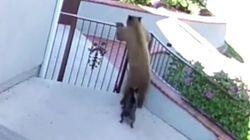 Μικροσκοπικό μπουλντόγκ παίρνει στο κυνήγι δύο αρκούδες που προσπαθούν να μπουν στο σπίτι του αφεντικού