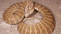 Ανακάλυψαν σπάνιο δηλητηριώδες φίδι στην