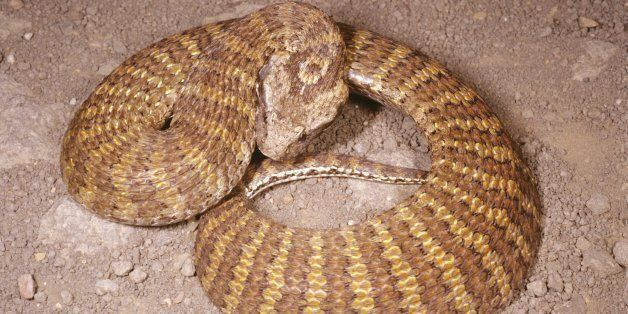 Northern death adder, Acanthophis praelongus, wiggles narrow tail to imitate grub or worm to lure prey,...